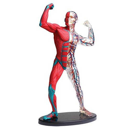 Anatomisches 19 cm Modell mit Muskeln, Knochen und Blutbahnen 38teiliger Bausatz