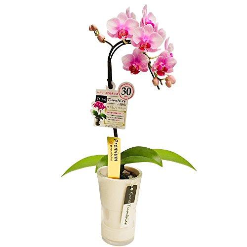 ミニ胡蝶蘭 タンブラースリムポット3号鉢植え 1本立て /お中元 ギフトに花のプレゼント 開店祝いに 母の日 (花ライトピンク鉢ホワイト)