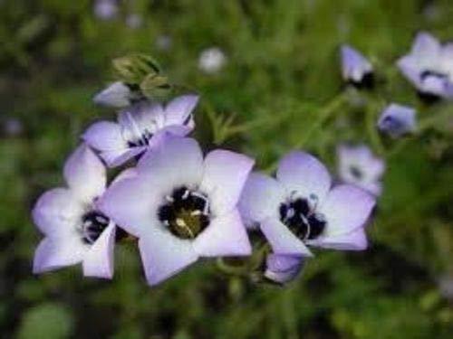 『種:1ポンド:ダーティ庭師GiliaトリコロールのEyess』の1枚目の画像