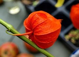 Physalis alkekengi var. Franchetti linternas chinas semillas de flores procedentes de Ucrania
