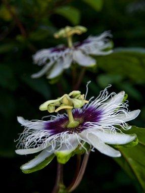 Seedeo Maracuja Passionsfrucht (Passiflora edulis flavicarpa) 20 Samen