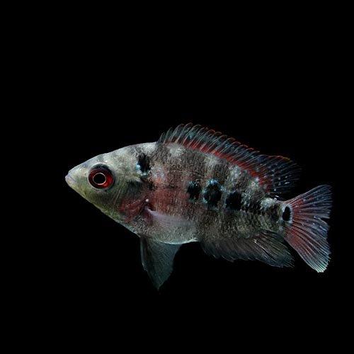 (熱帯魚)フラワーホーン(花羅漢)(約4-5cm)(1匹)[生体]