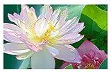 'Beautiful Dancer' (Pink) Oriental Lotus Live Aquatic Plant Grown in Licensed Florida Aquatics Plants Nursery