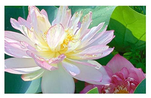 Best Flower for summer -Lotus