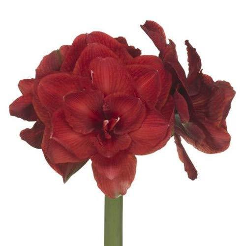 Amaryllis als Schnittblume 'Cherry Nymph' - Ritterstern - Hippeastrum - Blumenstrauß