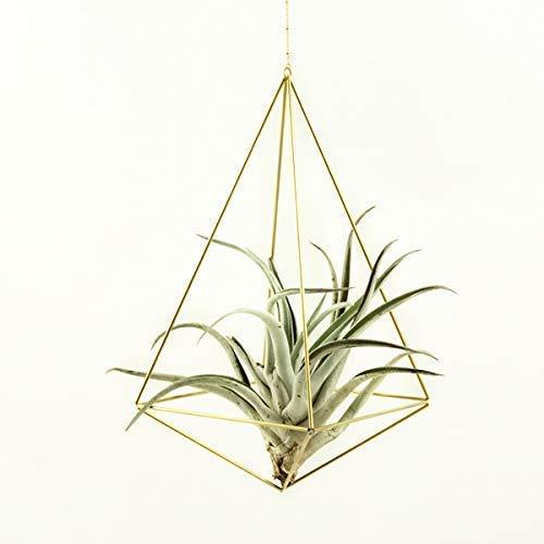 Luftpflanze mit Messing Pflanzenhänger, moderne Wohn Deko, Himmeli Octahedron No03 mit Pflanze
