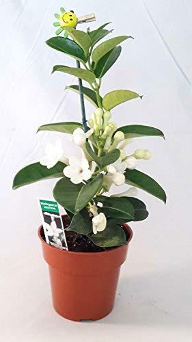 "Live Plant - Stephanotis Jasmine Madagascar Plant Flowers Blooms 4"" Pot Wedding Bouquets Gift"