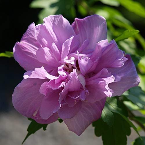 Müllers Grüner Garten Shop Gartenhibiskus Roseneibisch Hibiscus syriacus Lavender Chiffon® violettrosa Blüte 60-80 cm 3 Liter Topf