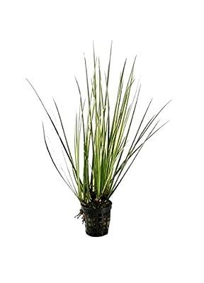 Acorus gramineus VAR. variegatus - Aquarium Plants