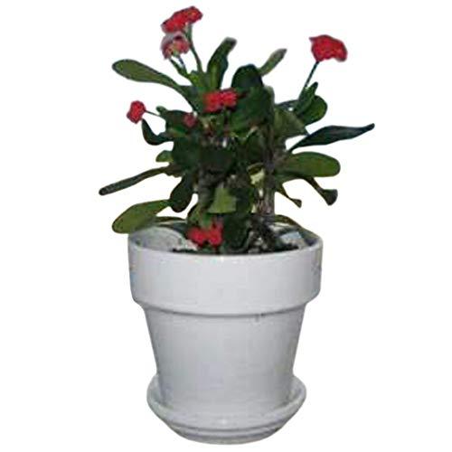 9GreenBox - Red Crown of Thorns Plant - Euphorbia splendens - 4' Pot Live Plant...