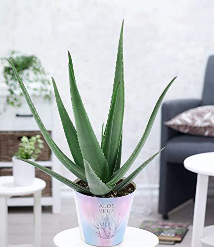 BALDUR-Garten XXL Aloe Vera, 40-50 cm hoch, 1 Pflanze, extragroß, Luftreinigende Zimmerpflanze