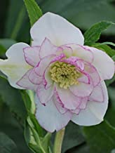 Perennial Farm Marketplace Helleborus x W.J. 'Peppermint Ice' (Lenten Rose) Perennial, 1 Quart, Soft Pink Flowers
