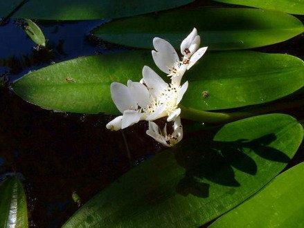 WFW wasserflora Afrikanische Wasserähre/Aponogeton distachyos im 9x9 cm Topf