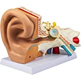 VEVOR Human Ear Anatomy Model, 5 Times Enlarged Human Ear Model, PVC Plastic Anatomical Ear Model for Education, Human Ear Anatomy Displaying Outer, Middle, Inner Ear with Base, 3pcs (2 Removable)