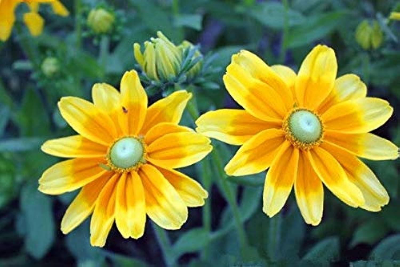 火炎ベーリング海峡十分100PCS /バッグ菊盆栽植物園の花の家族の庭の装飾鉢植え多様な花植物の植栽:5