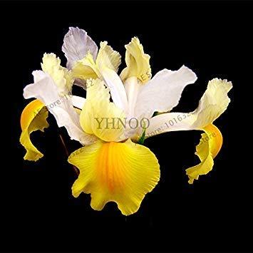 50pcs / sac graines Iris, fleur populaire de jardin de plantes vivaces, graines de fleurs rares coupe magnifique fleur pour la plantation jardin maison orchidées 17