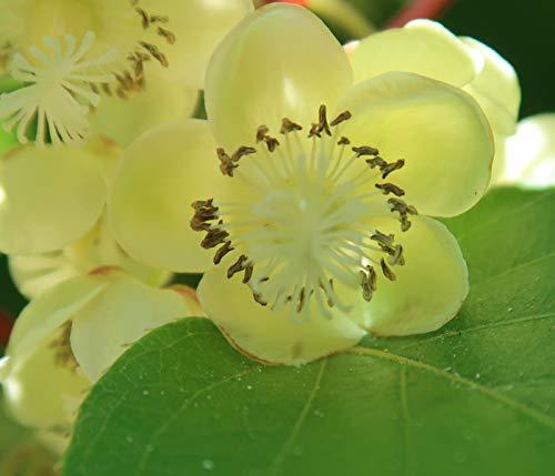 Dehner Kiwi Nostino, grüne Befruchtersorte, ca. 50-70 cm, Obstpflanze