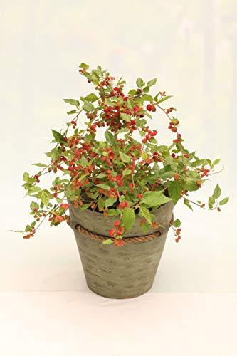 Hecken & Sträucher von Botanicly – Maulbeere – Höhe: 25 cm – Morus Matsunaga Mojo Berry
