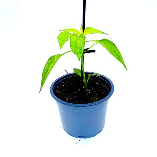 Chili Pflanze Koh Samui