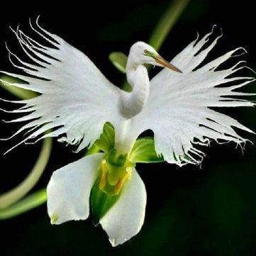 Pets Delite® Japanische Reiher-Blumen-Samen We ie Reiher-Orchidee s t Radiata seltene we ie Orchidee - 100pcs