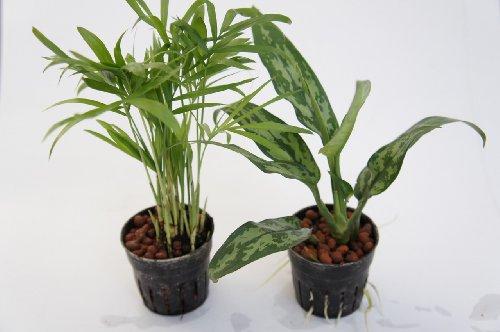 園芸農家から新鮮な苗を届けます。 ハイドロカルチャー苗 寄せ植えセット6Φ【テーブルヤシ×アグラオネマ】 水だけで育つので育てやすいのが特徴