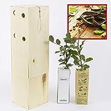 ALGARROBO. Arbolito de pequeño tamaño en caja de madera. Alveolo forestal (2)