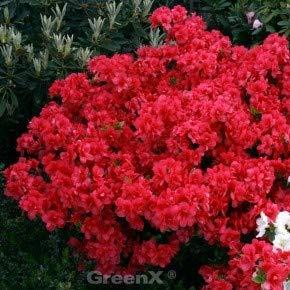 Japanische Azalee Maraschino 30-40cm - Rhododendron obtusum
