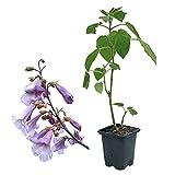 5 x Paulownia Blauglockenbaum SHANDONG, sehr...
