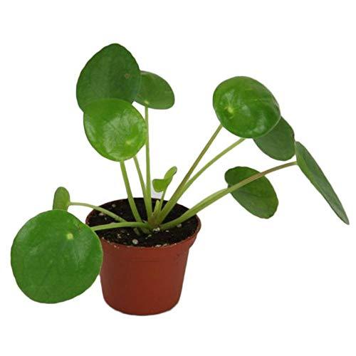 Rosepoem 50Pcs Pilea Peperomioides Geld Pflanzensamen Baum Pancake-Form-Hausgarten-Dekor