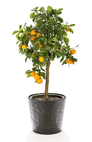 Photo of Hayloft Orange Tree  Calamondin Standard  Indoor Plant  House Plant  Citrus Fruit Tree  Hardy Citrus  1 x 15cm Pot