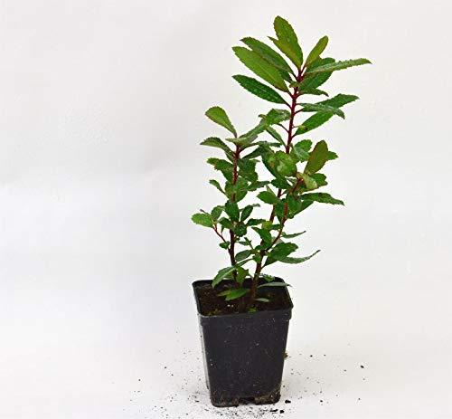 Pianta Corbezzolo, Vaso 7cm, Altezza 10/15cm