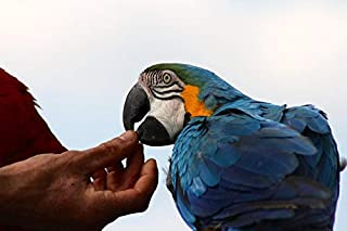 hand fed parrots