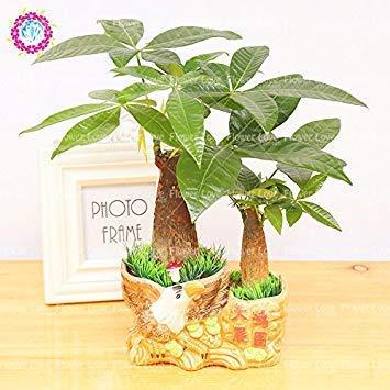 VISTARIC 9: ZLKING 20Pcs / pack japanischen Sakura Blumen Baum Bonsai Samen Cerasus yedoensis Kirschblüten Einfache Exotische Blumen Pflanzen wachsen 9