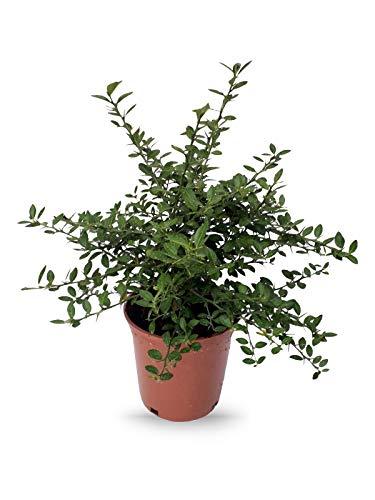 Plantas frutales de Botanicly – 2 × Caviar Cítrico – Altura: 35 cm – Microcitrus Australasica