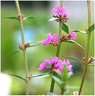 (ビオトープ)水辺植物 ミソハギ(1ポット) 抽水~湿生植物 (休眠株)