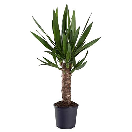 Yucca Elephantipes 80 cm - Riesen-Palmlilie Sonderposten Zimmerpflanze