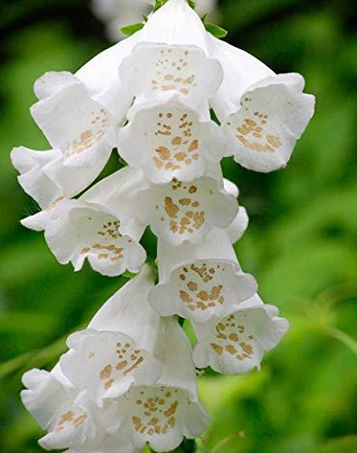 Derlam Samenhaus-50 Pcs Fingerhut Weiß Rarität Blumensamen mehrjährig winterhart exotische samen Saatgut für Garten