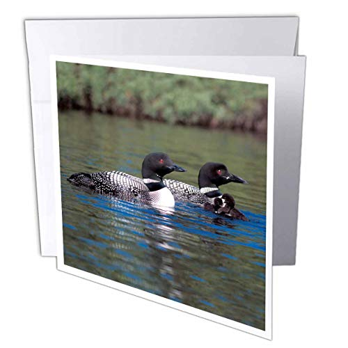 3dRose Family of Three Loons - Greeting Cards, 6 x 6 inches, set of 12 (gc_3106_2)