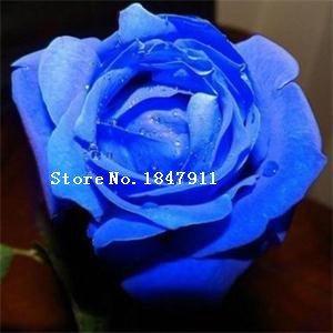 VISTARIC Noir: Big vente Livraison gratuite New Lovely 100 Pcs Rose Graines Fleurs Bonsai/Rare Violet Noir Blanc Rouge Bleu Rose Graines