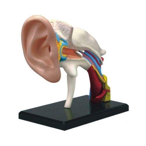 DIY Wood Crafts Science Experiments Anatomical Medical Learn Study Equipment 4D Vision Human Ear Anatomy Model DIY Kits for Adults Science Kits