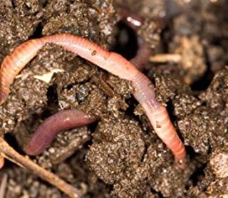 POKEBERRY BARN 300 Live Compost Worms RED WIGGLERS