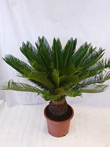 [Palmenlager] - Cycas revoluta 80 cm, Stamm 20/30 cm - dicker Stamm/Sagopalme - Palmfarn