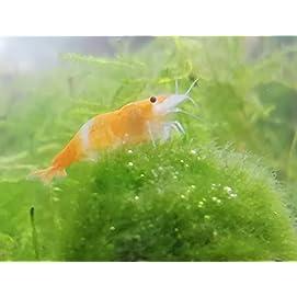 Topbilliger Tiere Orange Rili Garnele - Neocaridina davidi 5X