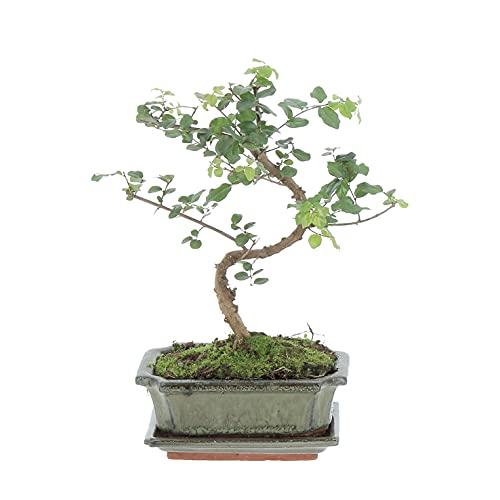 KENTIS - Bonsai Carmona - Pianta del Tè - Piante Vere da Interno - Altezza 25-30 cm Vaso Ø 15 cm