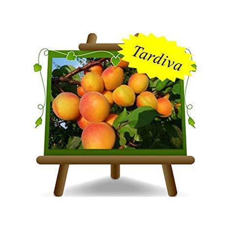 Abricot Pisana Tardiva - Fruitier avec une greffe de myrobalan sur un 20 pot - Arbre max 170 cm - 2 ans