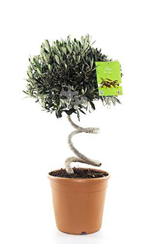 Olivenbaum Spirale 100 cm Olive winterhart - Olea europaea