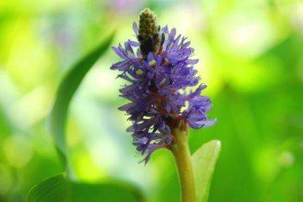 Hechtkraut blau (Pontederia cordata) -...