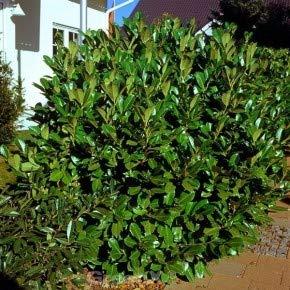 Kirschlorbeer Rotundifolia 125-150cm - Prunus laurocerasus
