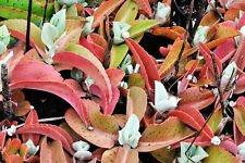 Kalanchoe Gastonis-Bonnieri, Eselsohren Pflanze exotische Succulenten seed 100 SEEDS