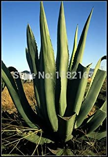 Best tequila agave plant Reviews